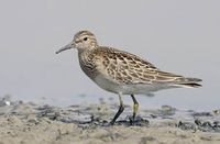 Pectoral Sandpiper (Calidris melanotos) photo