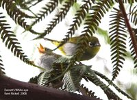 Everett's White-eye - Zosterops everetti