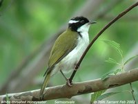 White-throated Honeyeater - Melithreptus albogularis