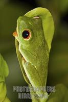 Red eyed Tree Frog ( Agalychnis callidryas ) on leaf stock photo