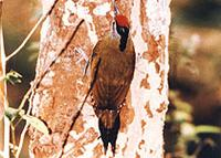 Black-naped-Woodpecker