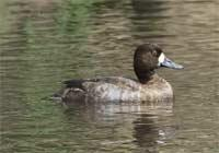 A female Lesser Scaup, pictured at right, was seen at the wetland in November 2004.