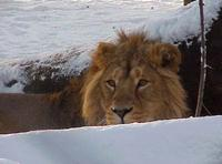 Photograph of a male Asiatic Lion Panthera leo persica