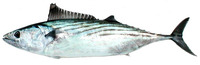Sarda chiliensis chiliensis, Eastern Pacific bonito: fisheries, gamefish