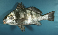 Pogonias cromis, Black drum: fisheries, gamefish, aquarium