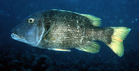 Lethrinus erythracanthus, Orange-spotted emperor: fisheries