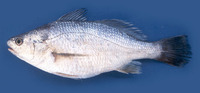Stellifer illecebrosus, Silver stardrum: fisheries