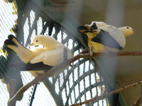 Ducula bicolor - Pied Imperial Fruit Pigeon