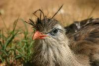 Image of: Cariama cristata (red-legged seriema)