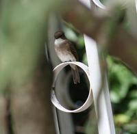 Image of: Muscicapa aquatica (swamp flycatcher)