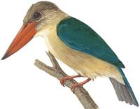 Image of: Pelargopsis capensis (stork-billed kingfisher)
