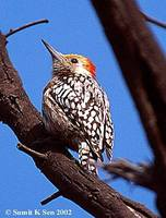 Yellow-crowned Woodpecker - Dendrocopos mahrattensis