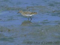 Long-toed Stint - Calidris subminuta