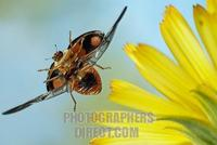 Asian lady beetle ( Harmonia axyridis ) stock photo