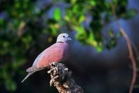 The Red Collared-Dove or Red Turtle-Dove is