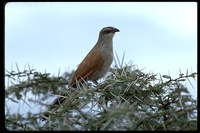 : Centropus superciliosus; White-browed Coucal