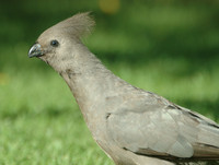 : Corythaixoides concolor; Grey Go-away-bird