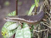: Mabuya multifasciata; Common Sun Skink