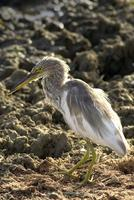 Ardeola grayii   Indian Pond Heron photo