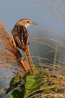 Striated Grassbird Scientific name - Megalurus palustris