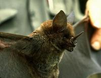 Image of: Phyllostomus hastatus (greater spear-nosed bat)