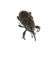 Image of: Curculionidae (snout beetles and weevils)