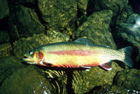 Image of: Oncorhynchus mykiss aguabonita (California golden trout)