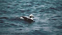 Long-tailed Duck - Clangula hyemalis