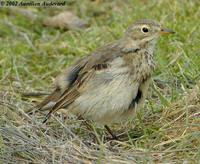 Buff-bellied Pipit - Anthus rubescens