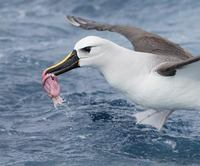 Atlantic Yellow-nosed Albatross (Thalassarche chlororhynchos) photo