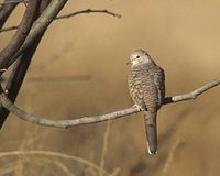 Inca Dove (Columbina inca) photo