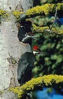 Pileated Woodpecker (Dryocopus pileatus) photo