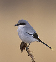 Loggerhead Shrike (Lanius ludovicianus) photo