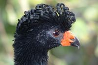 Wattled Currasow (female)