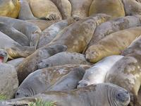 Southern elephant seal huddle