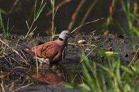 Red Turtle Dove, male 紅鳩