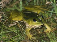 : Euphlyctis hexadactylus; Indian Five-fingered Frog