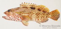 : Epinephelus hexagonatus