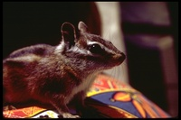 : Eutamius minimus; Least Chipmunk