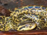 : Eunectes notaeus; Yellow Anaconda