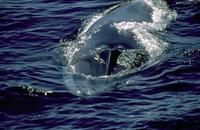 Image of: Balaenoptera physalus (fin whale)