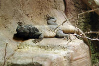 Image of: Sauromalus ater (common chuckwalla)