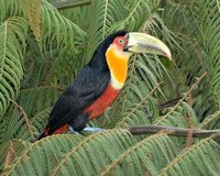 Red-breasted Toucan - Ramphastos dicolorus