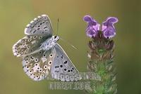Adonis Blue ( Lysandra bellargus ) stock photo