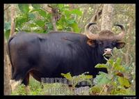 Indian Gaur worlds largest wild cattle stock photo