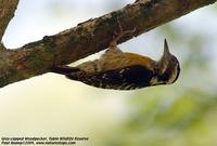 Gray-capped Woodpecker Dendrocopos canicapillus Tabin Wildlife Reserve, Sabah, Malaysia - 2004 ©...