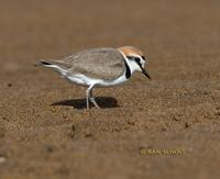 Kentish plover C20D 02377.jpg