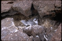 : Phaethon aethereus; Red-billed Tropicbird