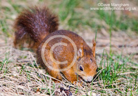 : Sciurus vulgaris; Eurasian Red Squirrel