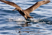 Black-footed Albatross. 1 October 2006. Photo by Kathleen Cameron